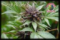 Sweet Purple Feminizada (Semillas) 0