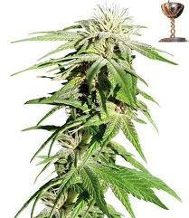 Sweet Tooth (Barney´s Farm Seeds)  Todas las semillas feminizadas de Barney´s Farm Seeds en nuestras tiendas Dr.Cogollo - Powercogollo.com tu growshop más barato online Ganadora de 3 Cannabis Cup. Famosa por su increible alto contenido en THC y gran rendi 1