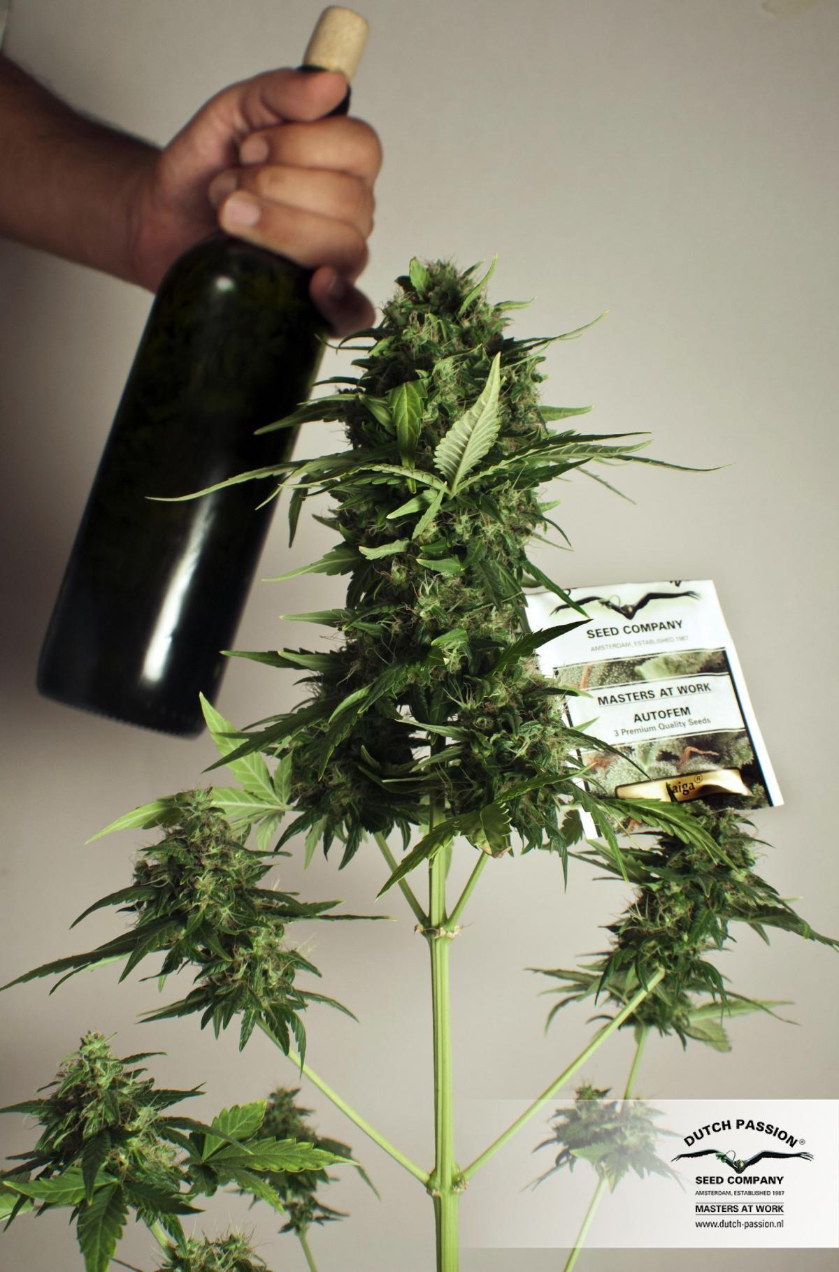 Taiga #2 (Dutch Passion) Semilla Autofloreciente de Marihuana 1