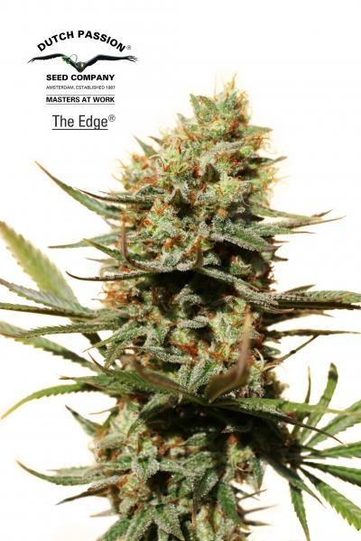 The Edge (Dutch Passion) Semilla Feminizada de Cannabis 0