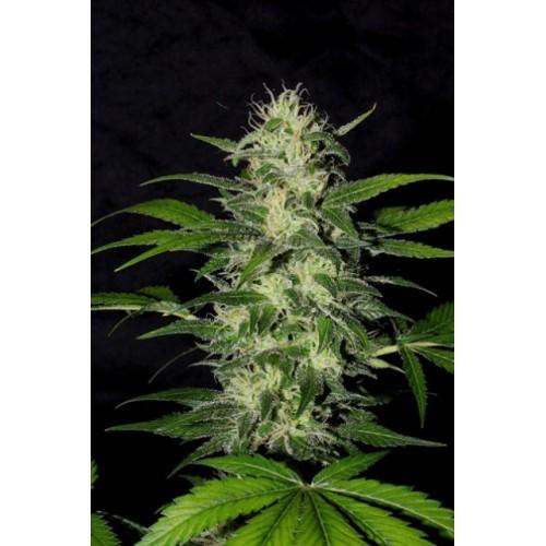 The Super (Shaman Genetics) Semilla Feminizada Cannabis- Marihuana 0