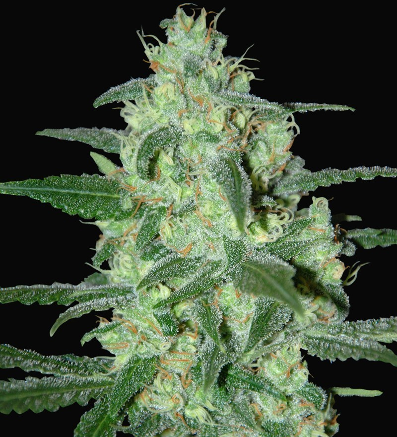 Thunder Bloody Mary (Samsara Seeds) 1
