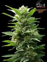 Tnt Kush (EVa Seeds)  0
