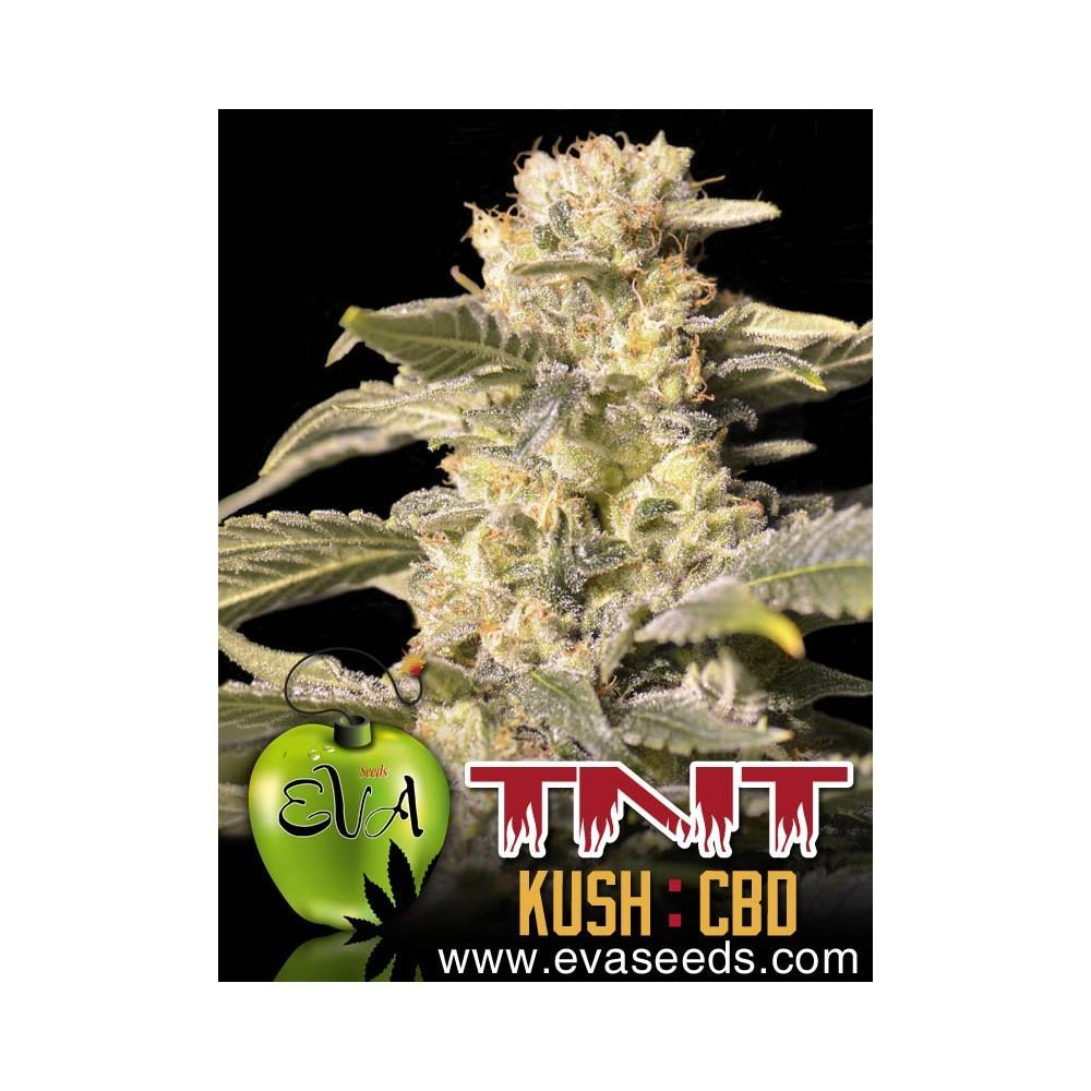 Tnt Kush CBD (EVa Seeds) 1