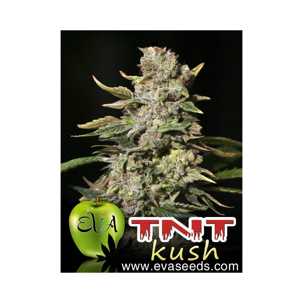 Tnt Kush (EVa Seeds)  2