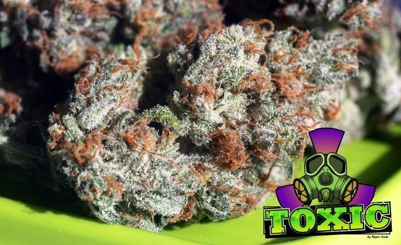Toxic (Ripper Seeds) Semilla 0