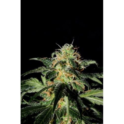 UK Cheese (Shaman Genetics) Semilla Feminizada Cannabis 0