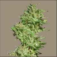 Utopia Haze (Barney´s Farm) Semilla Feminizada Ganadora de Cannabis Cup & Sativa Cup 2008. Utopia Haze (Barney´s Farm)  Todas las semillas feminizadas de Barney´s Farm Seeds en nuestras tiendas Dr.Cogollo - Powercogollo.com tu growshop más barato online N 1