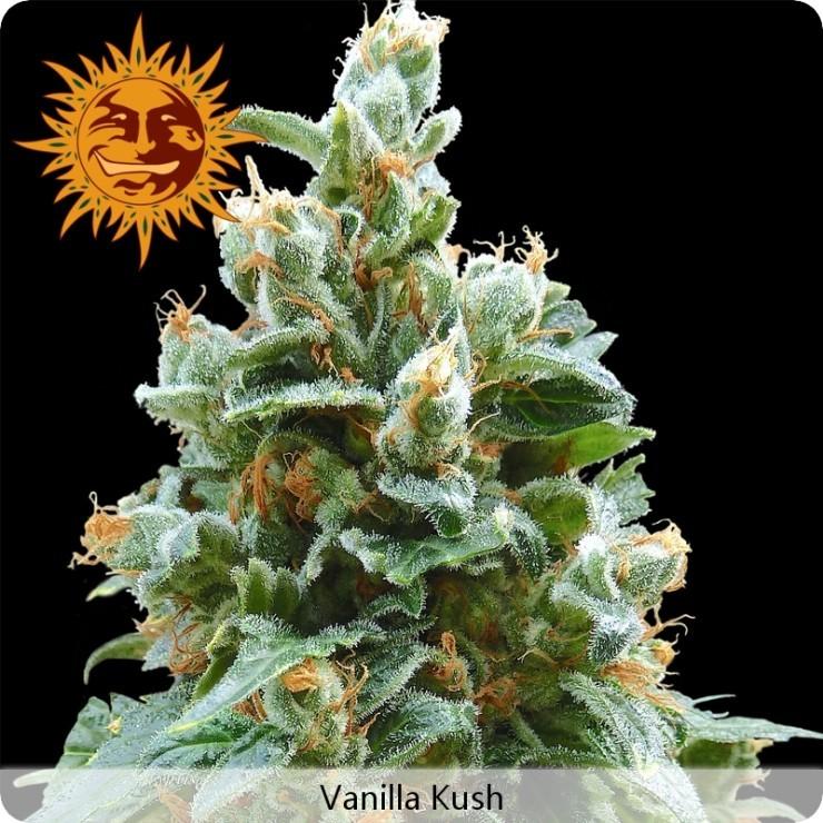 Vanilla Kush (Barney´s Farm) Semilla Feminizada 100% 0