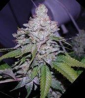 White Berry (Paradise Seeds) Feminizada 0