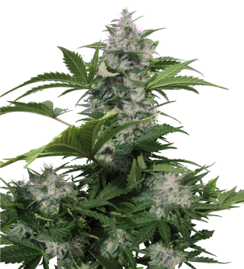 Semilla Autofloreciente White Dwarf Cannabis regular de Buddha Seeds 1