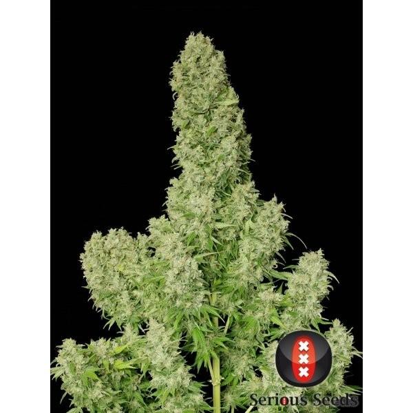 White Russian Feminizada (Serious Seeds) 2