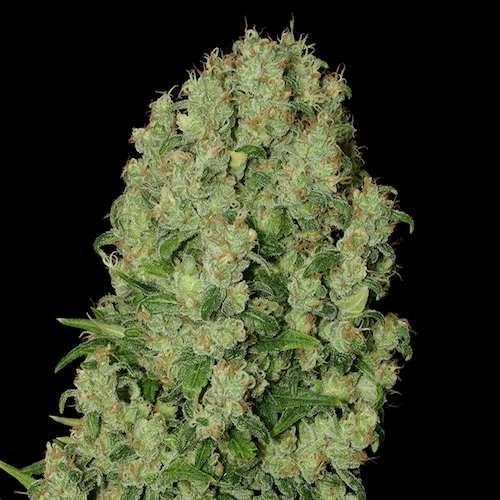 White Russian Feminizada (Serious Seeds) 1