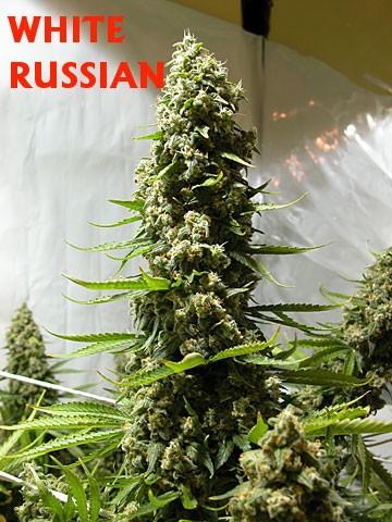 White Russian Feminizada (Serious Seeds) 3
