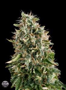 Semilla de marihuana White Siberian Feminizada 0