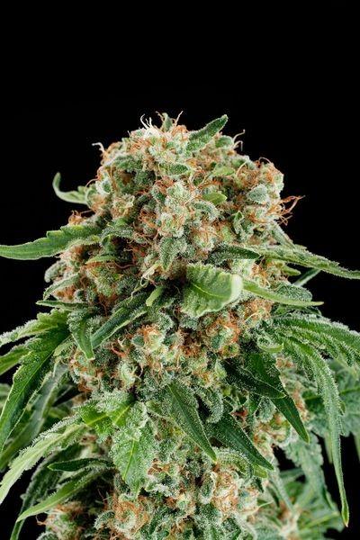 Semilla de marihuana White Siberian Feminizada 2