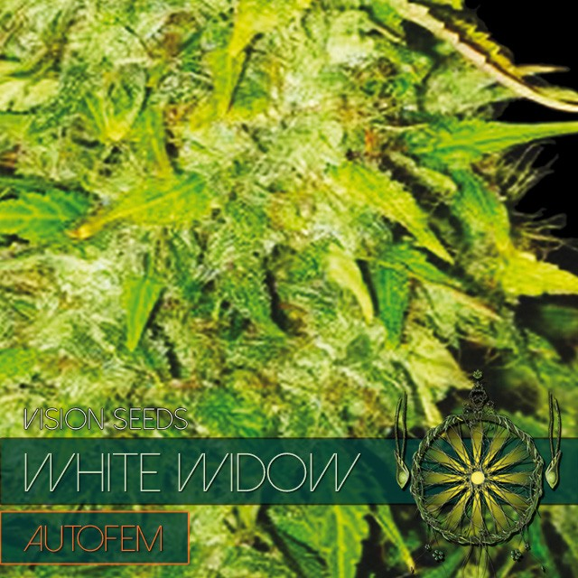 White Widow Auto Vision Seeds 3