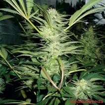 White Widow (Medical Seeds) Semilla feminizada 0