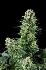 White Widow (Royal Queen Seeds) Feminizada 0