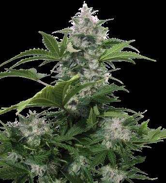 White Dwarf Auto Regular (Buddha Seeds) 0