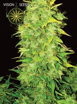White Widow Auto Vision Seeds 0