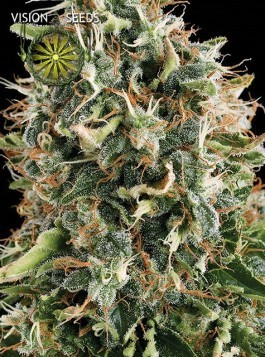 White Widow Semilla Feminizada de Marihuana 0
