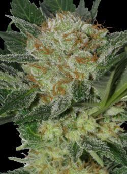 Widow (SeedMakers) Semilla Feminizada Cannabis-Marihuana barata 0