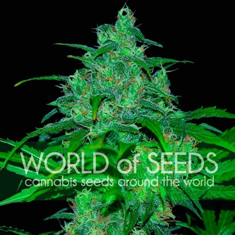 Wild Thailand (World of Seeds) Regular 1