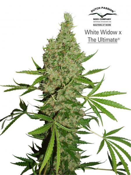 White Widow x The Ultimate (Regular) Semilla Cannabis de Dutch Passion Seeds 0