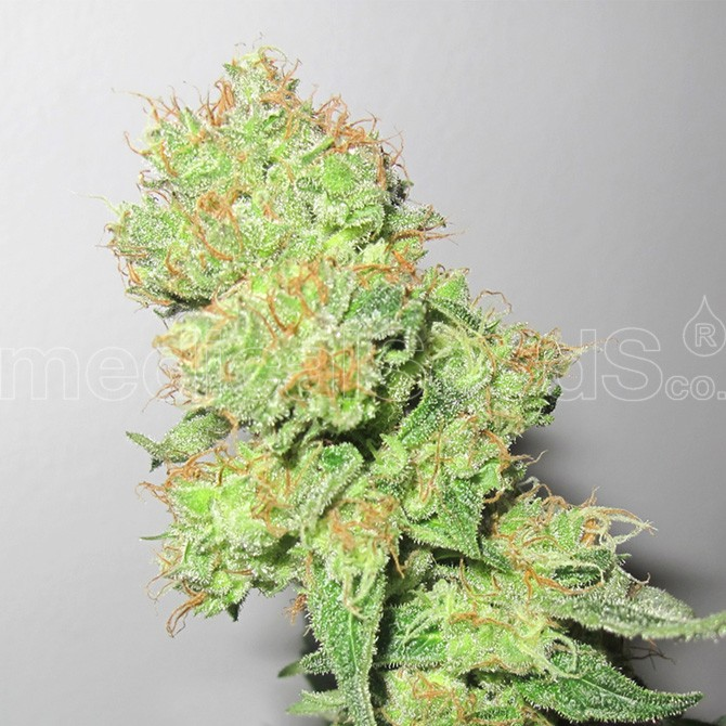 Y Griega CBD (Medical Seeds) Semilla Feminizada Cannabis 0