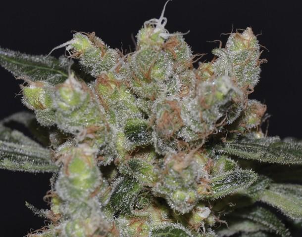 Zen (CBD Seeds) SEmillas feminizada cannabis 0