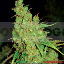 1024 (Medical Seeds) Feminizada Semilla Feminizada 1024 (Medical Seeds) Marihuana Sativa Nos sentimos orgullosos de este cruce!!! 1024 lo combina todo: sabor, producción, presencia, es la planta perfecta.  Se adapta perfectamente a todos los sistemas de c 0