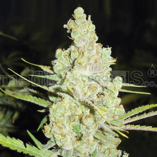 1024 (Medical Seeds) Feminizada  1