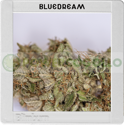 Blue Dream (Original Blimburn America Feminized)  0