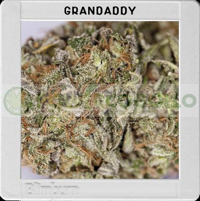 Granddaddy Purple (Original Blimburn America Feminized) 0