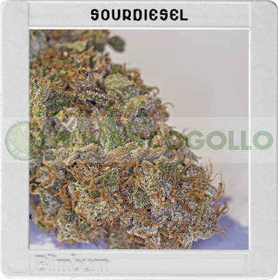 Sour Diesel(Original Blimburn America Feminized) 0