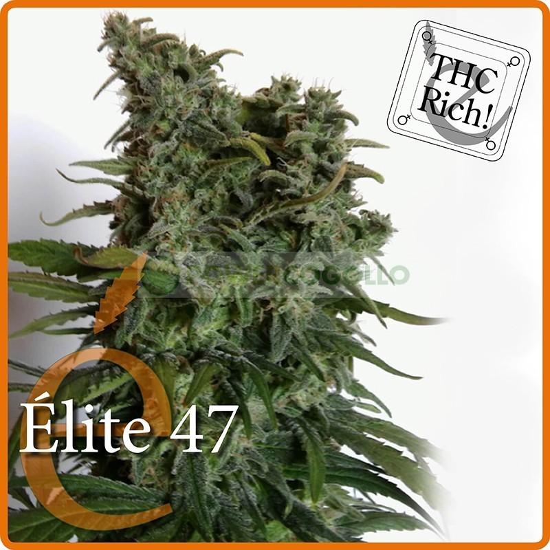 Élite 47 (Elite Seeds) Semilla Feminizada Cannabis- 1