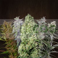 Ace Mix (Ace Seeds) Semillas Regulares 0