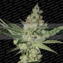 Acid (Paradise Seeds) Feminizada 0