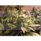 Acid (Paradise Seeds) Feminizada 1