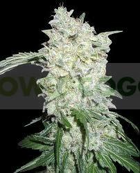 Afghan Kush (World of Seeds) Regular 1
