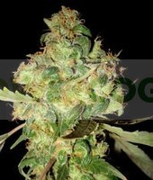 Afghan Kush Ryder Auto (World of Seeds) 0