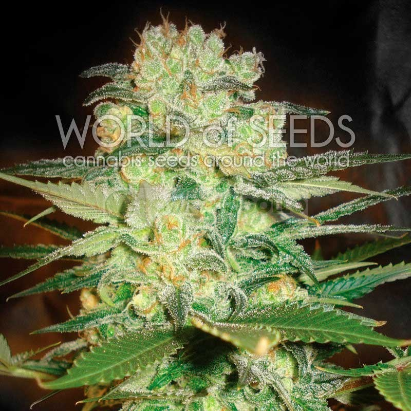 AFGHAN KUSH x WHITE WIDOW (WORLD OF SEEDS) 0