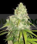 AFGHAN KUSH x YUMBOLT (WORLD OF SEEDS) MEDICAL COLLECTION 0