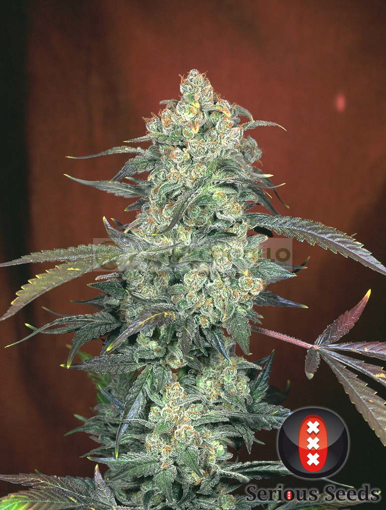 ak47 serious seeds cannabis 1