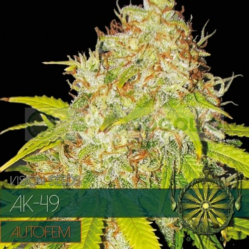 AK-49 Auto Vision Seeds  3
