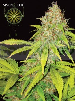 AK-49 Auto Vision Seeds  0