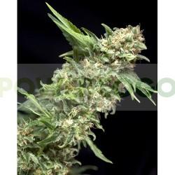 Alpujarreña de Pyramid Semilla Feminizada de Cannabis 0