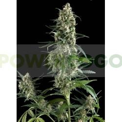 Amnesia Gold Auto (Pyramid Seeds) 1