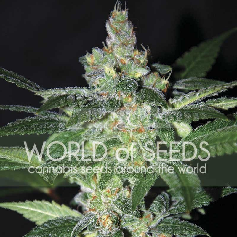 Amnesia (World of Seeds) Feminizada 1